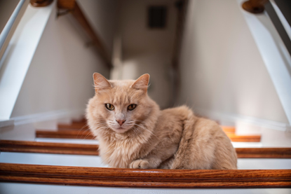 long haired ginger cat sitting on stairs