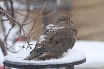 "This picture is one of three atop this entry that features a Mourning dove sitting atop of snow.  Many snowflakes have landed on his back. This bird type is featured in my three volume book series, ""Words In Our Beak."" Info re the books can be found in another post on this blog @ https://www.thelastleafgardener.com/2018/10/one-sheet-book-series-info.html"