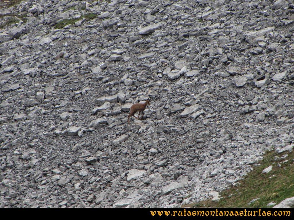 Ruta Tuiza Fariñentu Peña Chana: Rebeco cerca del Prau Albo