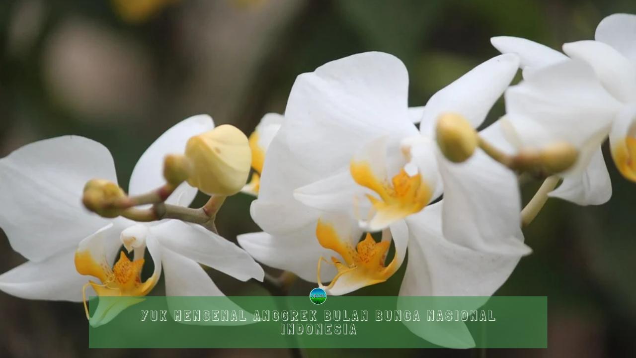 Yuk Mengenal Anggrek Bulan Bunga Nasional Indonesia