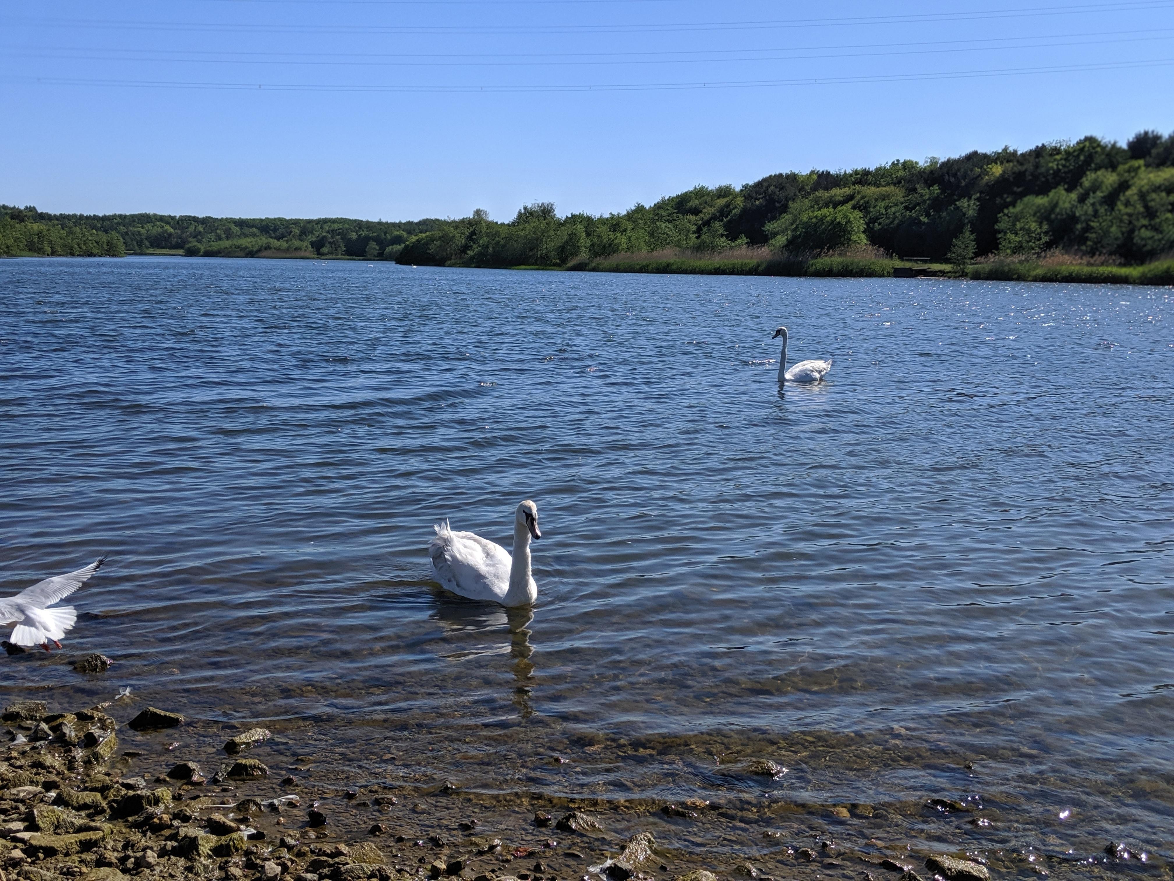 Queen Elizabeth II Country park walk swans swimming