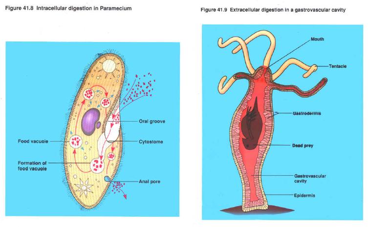 Sistem Pencernaan Pada Hewan Vertebrata Dan Invertebrata 1
