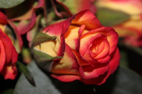 rozen pannenlap haken