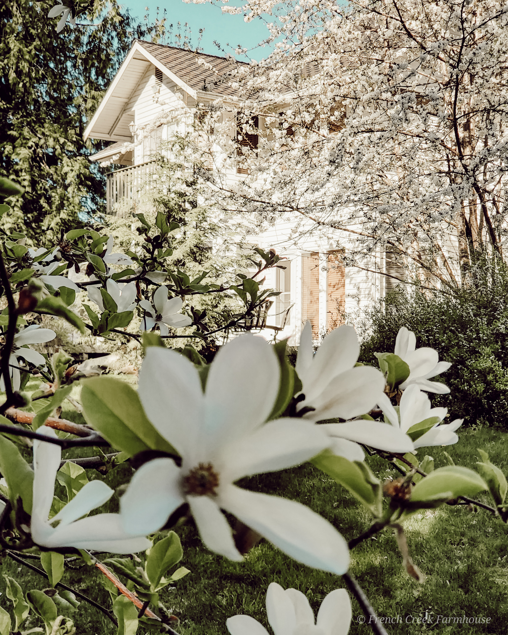 Our white farmhouse with spring trees in bloom | French Creek Farmhouse