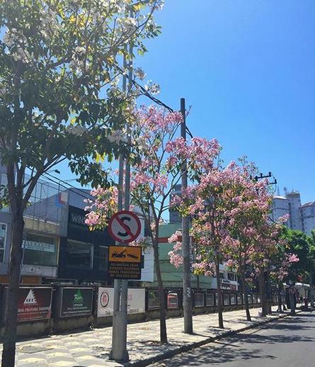 Mekarnya Bunga Tabebuya Surabaya | Bunga Sakura ala Indonesia