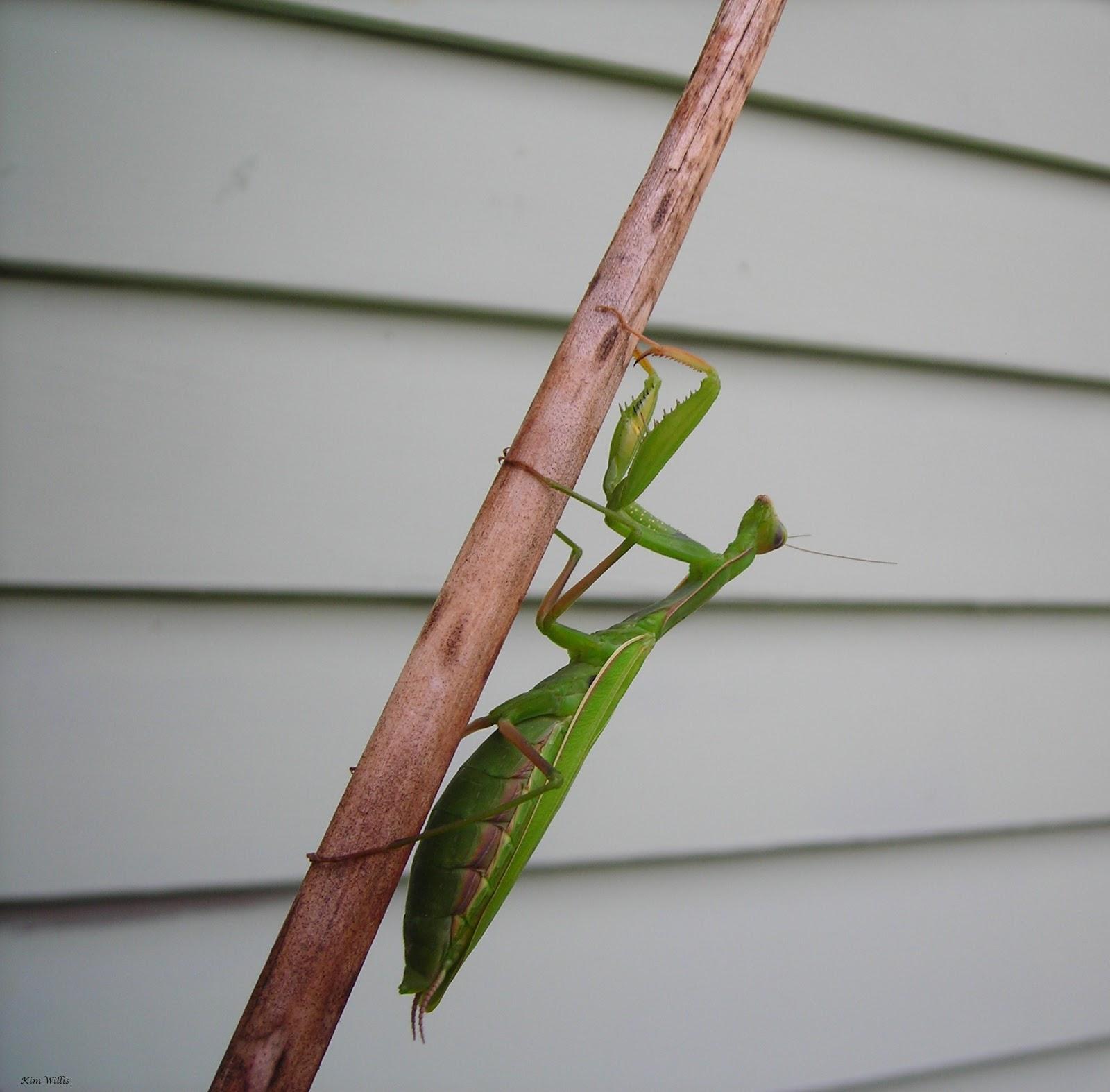 Gardening Granny S Gardening Pages Praying Mantis