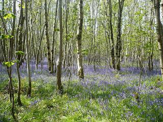 les plný modrých anglických zvončekov