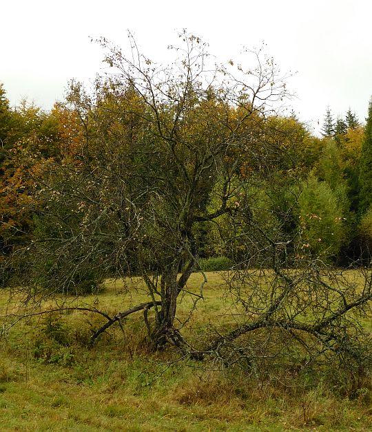 Stare drzewo owocowe.