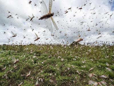 locust attack 2020