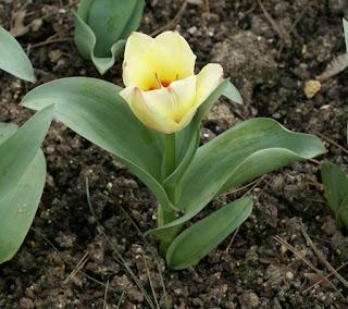 Tulipes Greigii - Tulipa Albion star - Tulipe Albion star - Tulipe Greigii Albion star