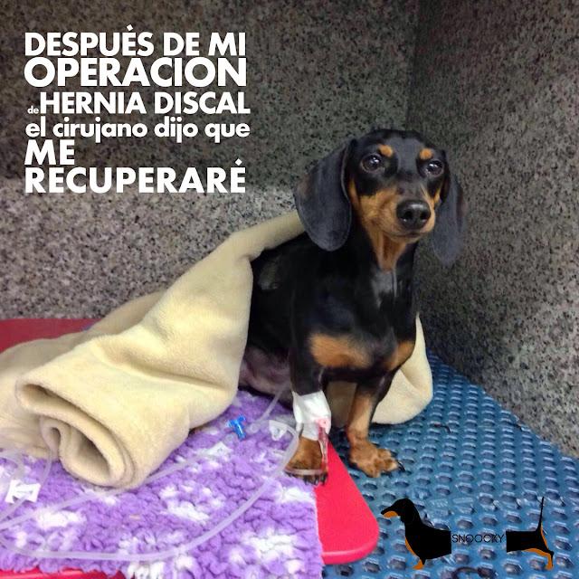 Snoocky-perro-salchicha-hernia-discal-teckel-dachshund-problema-columna-vertebral