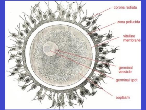 bagian-bagian sel telur manusia, ovum