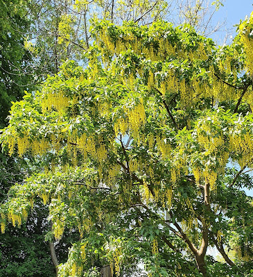 Photo of huge tree with masses of bright golden strings of flowers