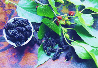 How to grow mulberry trees?