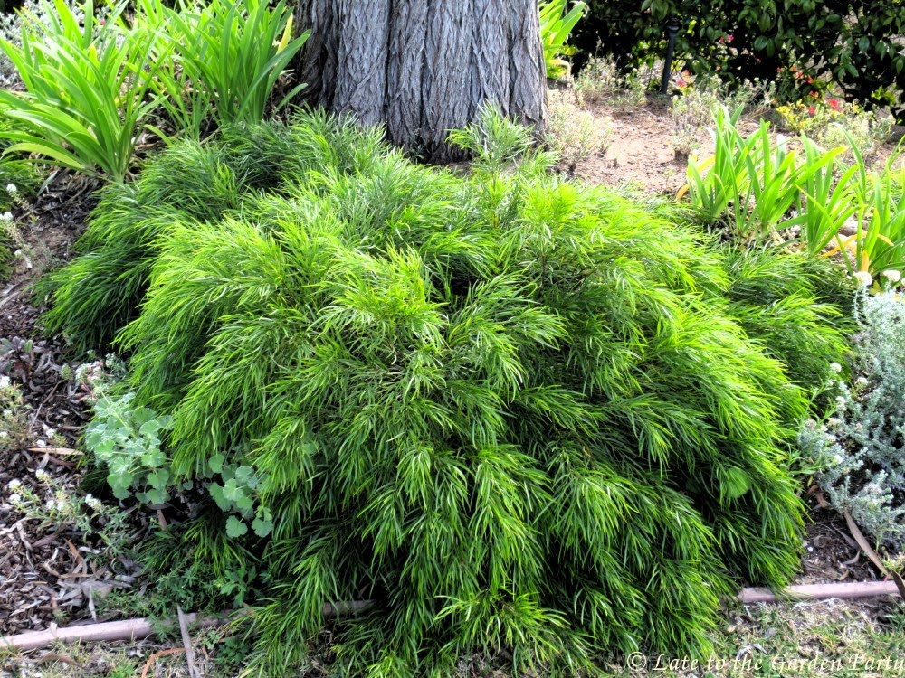 Late to the garden party my favorite drought tolerant plants for Drought tolerant trees