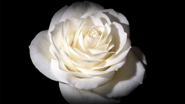 wallpaper mawar putih hd