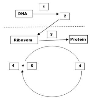 Biologi gonzaga substansi genetika genetika un diagram langkah sintesis protein ccuart Images