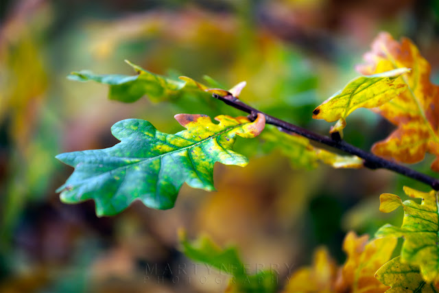 A multi coloured oak leaf as it transforms into its autumn vibrancy