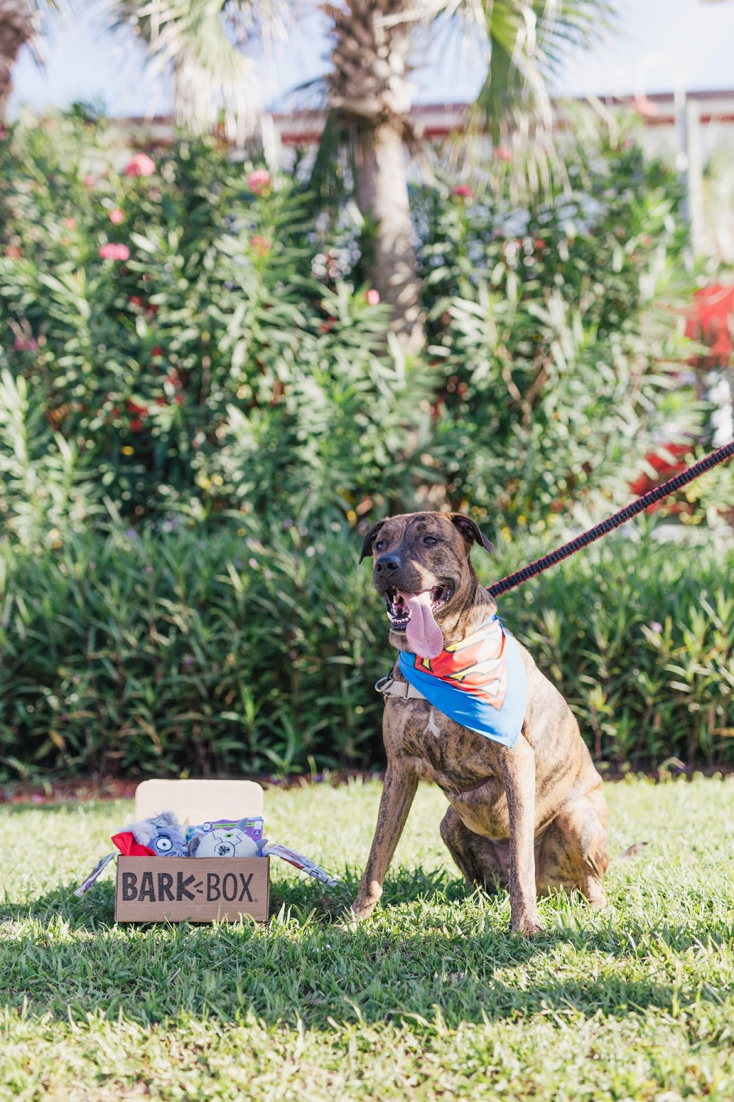 Cute brindle dog wearing superman bandana from Petsmart with Barkbox box