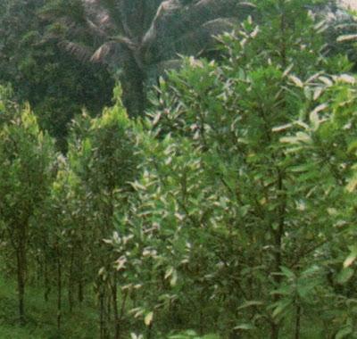 Cinnamomum cassia