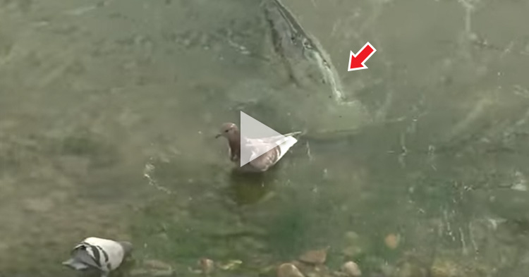 Giant Catfish eats Pigeons by stranding itself near the shore