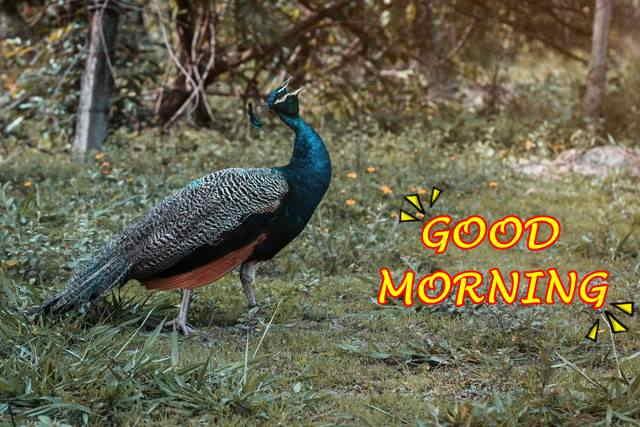 peacock image good morning
