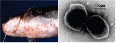 Penyakit Virus Pada Ikan : Channel Catfish Virus Disease (CCVD)