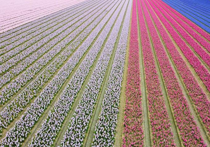 Alles over de bollenvelden in Nederland: de mooiste tulpenvelden, bloeiperiodes, routes en meer!