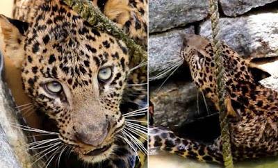 Gambar macan tutul dari dalam sumur