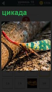 На земле около бревна в лесу находится цикада разноцветная с длинным красным носом