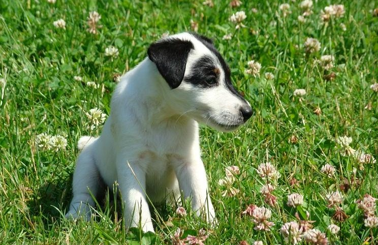 smooth fox terrier breeders gallery puppies pictures 6875