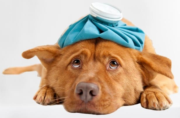 The respiratory virus in dogs: what is canine flu?