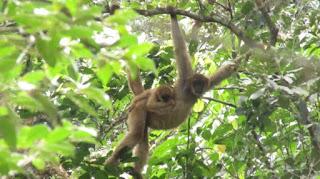 Legado das Águas está entre os últimos refúgios para salvar o maior macaco das Américas da extinção