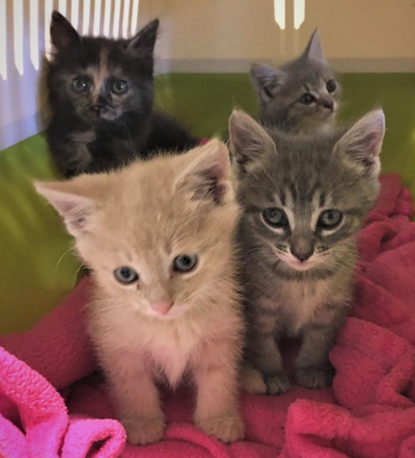 two grey tabby kittens, one light brown tabby kitten and one tortoiseshell kitten