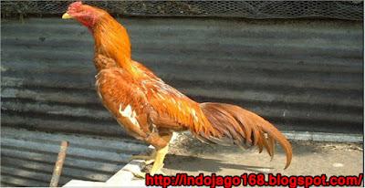 http://indojago168.blogspot.com/