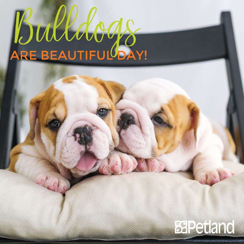 National Bulldogs Are Beautiful Day Wishes Unique Image