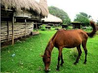kuda sandlewood