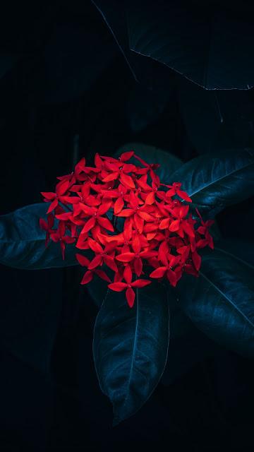 Papel de Parede Flor Vermelha Ixora