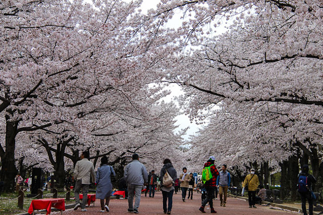 Cherry Blossom in Osaka