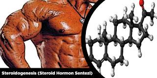 Steroid Hormon Sentezi