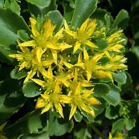 sedum flower