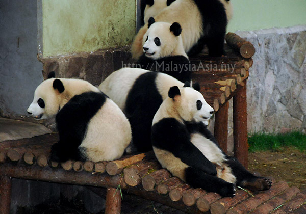 Video of Panda Bears