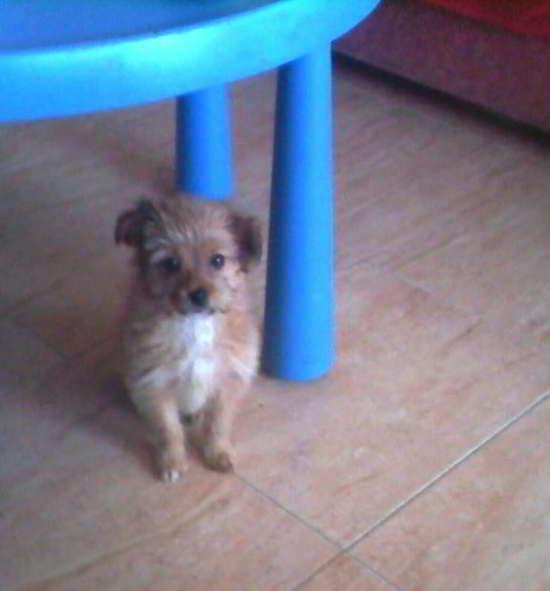 cachorro de talla pequeña