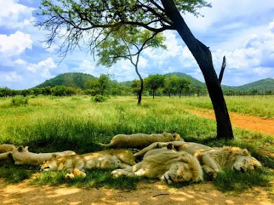 Google Stylized photo - lions
