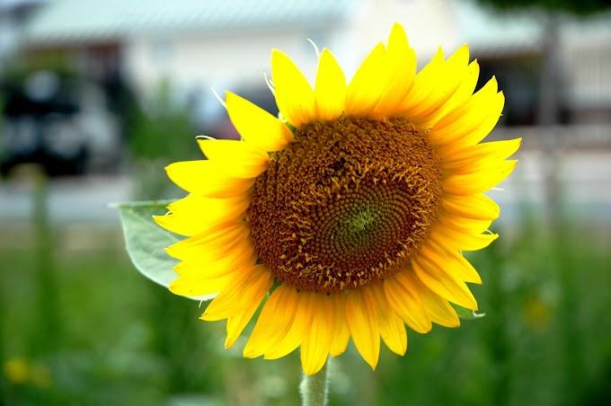 Radioactive Sunflowers