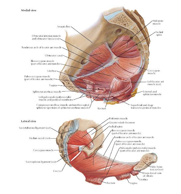 Pelvic Diaphragm: Female Anatomy