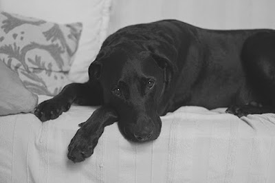 A black and white photo of a black Labrador lying on a couch