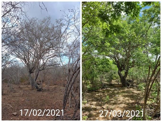 Fotos mostram incrível recuperação da Caatinga 40 dias após a primeira chuva de 2021