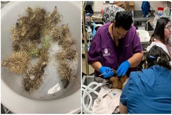 Stray Puppies Covered In Cactus Needles Laid On Ground & Shook Uncontrollably In Pain