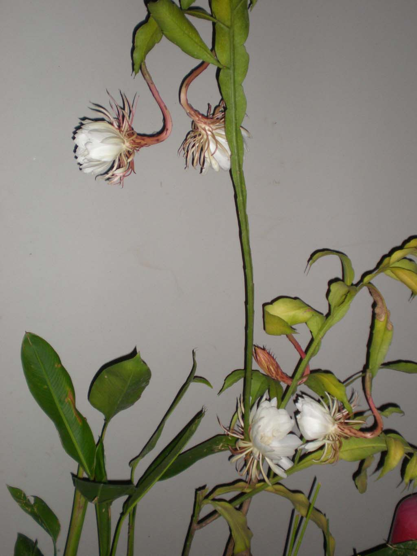 gambar bunga wijayakusuma  Indonesiadalamtulisan